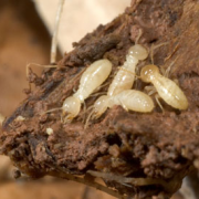 Termite Worker