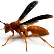 Red (Paper) Wasp